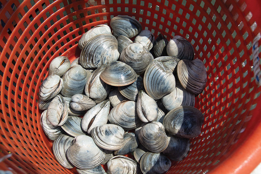 Clams In Bucket Harvest NC