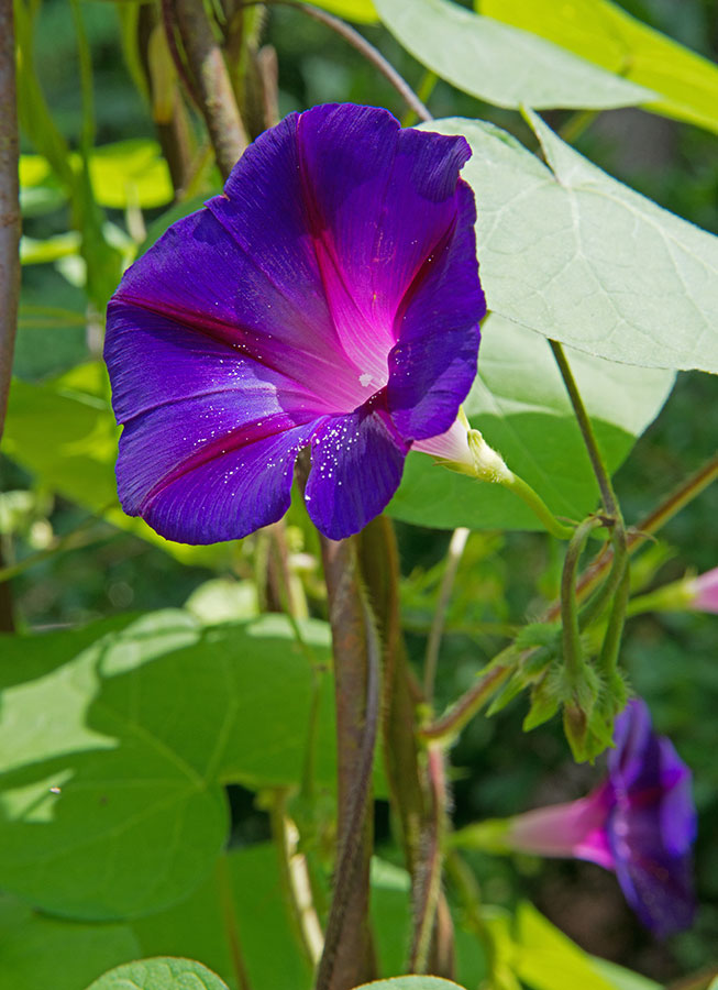 Five Flowering Vines That Provide Fast Cover - Carolina Country