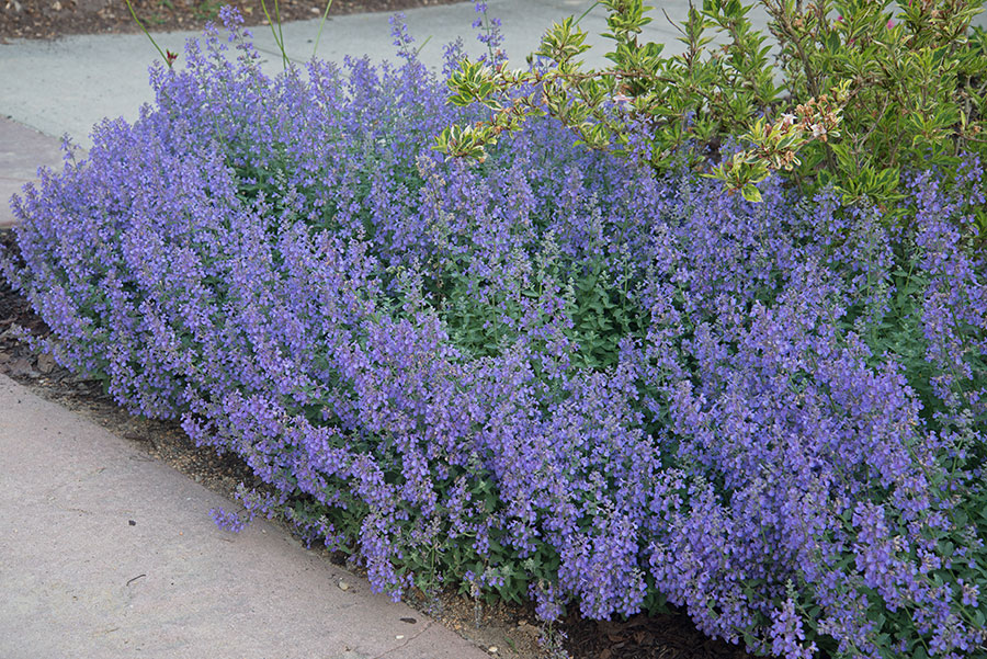 Count On Catmint For Reliable Showy Flowers Carolina Country