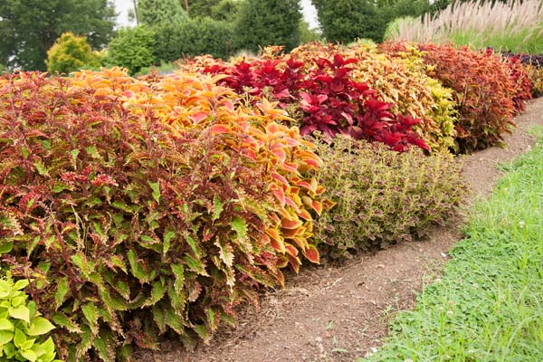 Color Your World With Sun Coleus Carolina Country