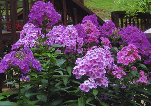 Great-Gardens-NC-phlox