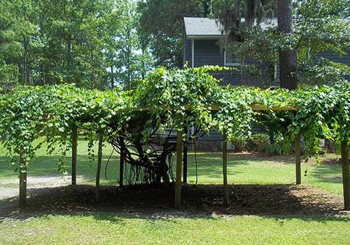 Great-Gardens-NC-muscadines