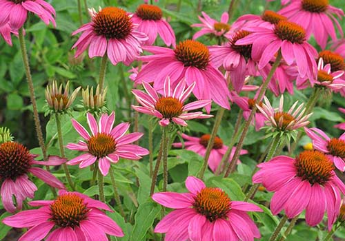 Great-Gardens-NC-Coneflowers