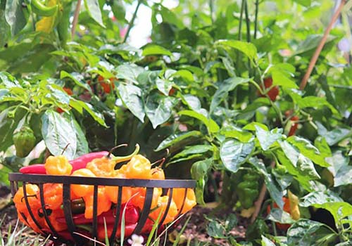 Great-Gardens-NC-Habanero