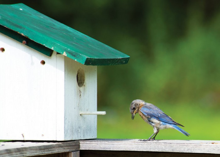 Time to put up bluebird boxes