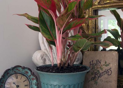 Chinese Evergreen Aglow