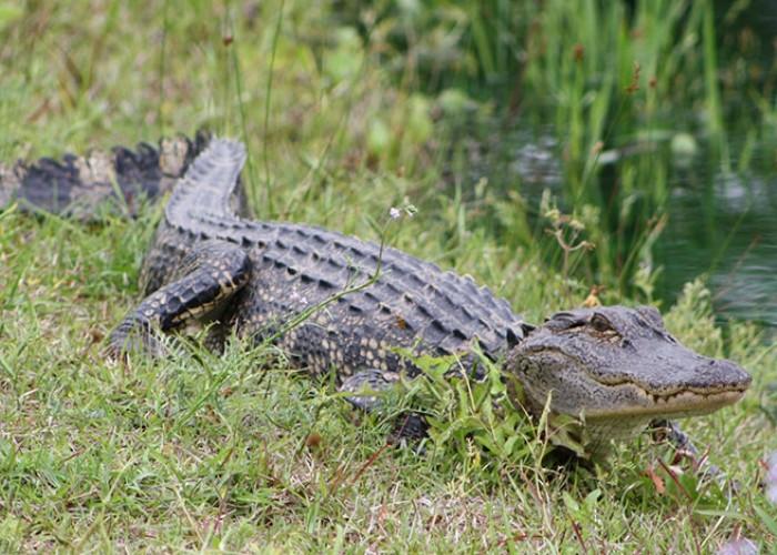 Alligators in North Carolina