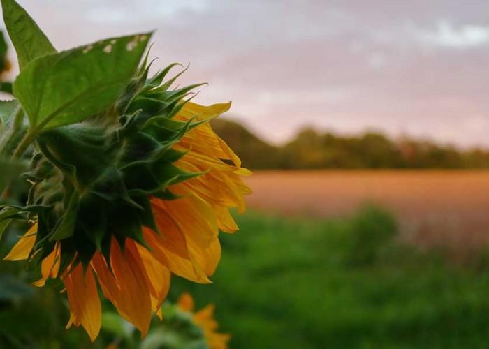 Comforting Sunflowers