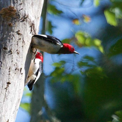 This red-headed woodpecker caught an insect and flew up to its nest hole in a tall snag to feed its young. Its mate flew out the hole and then he entered. Photo taken in Southport. —Ann Orsillo, Southport, Brunswick Electric