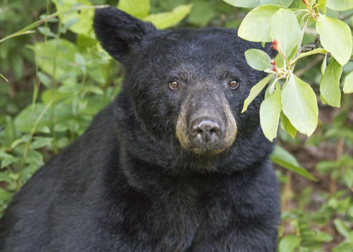 NC Wildlife Update: Rare Case of Rabies in NC Black Bear