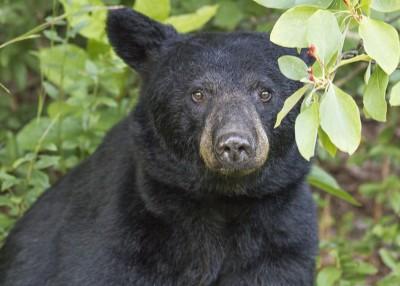 NC Wildlife Update: Rare Case of Rabies in NC Black Bear