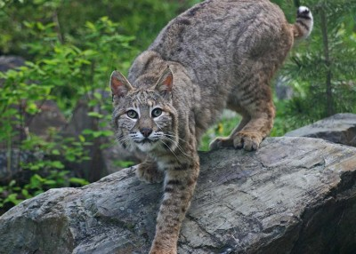 The Story of Uncle Rob and the Bobcat