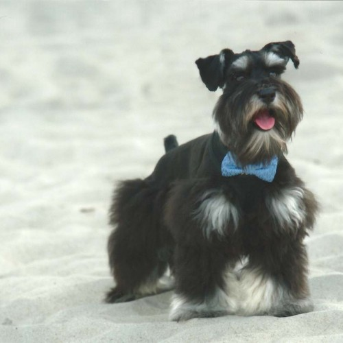 My handsome 7-month-old male miniature schnauzer puppy experienced Holden Beach for the first time and loved it. The picture took place at my wedding. —Brenda Soto, Raeford, Lumbee River EMC