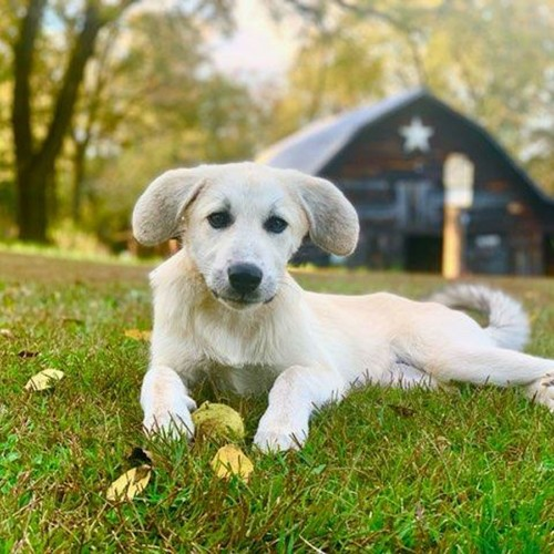 My niece Katie Atkinson took this photo of my puppy Hazel, an Anatolian shepherd/Pyrenees cross ... in front of our old barn on our 100-year-old farm. —Bridget Macary, Rutherfordton, Rutherford EMC