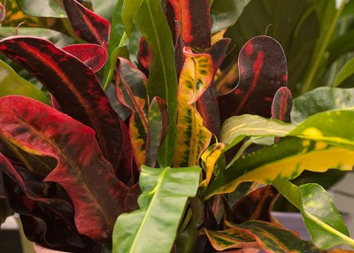 Color Your World with Crotons