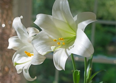 Easter Lilies 101