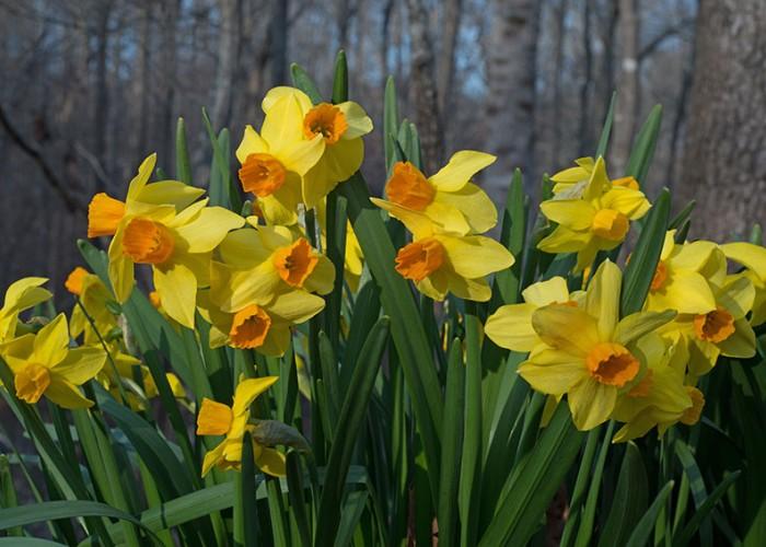 The Little Daffodils