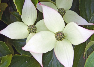 The Case for Kousa Dogwood