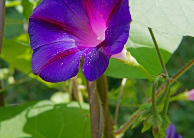 Five Flowering Vines That Provide Fast Cover