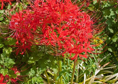 How to Master Red Spider Lily's Odd Growing Season