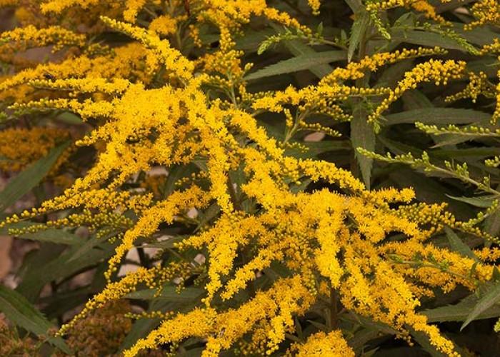 Goldenrod in the garden