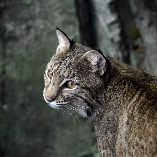 Close-up of the female bobcat at the North Carolina Zoo in Asheboro. —Cindy Walker, High Point, NC 27260