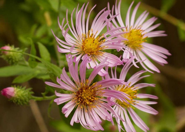 Fall for Climbing Aster
