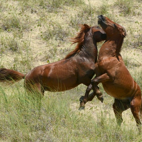 I caught a territorial dispute between the wild horses of Shackleford Banks. Shackleford Banks is home to more than 100 wild horses. —Daniel Williams, Jr., Morehead City, Carteret-Craven Electric Cooperative