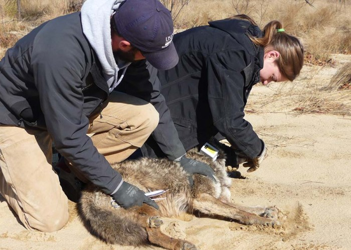 Top Dog: North Carolina's Tale of the Coyote