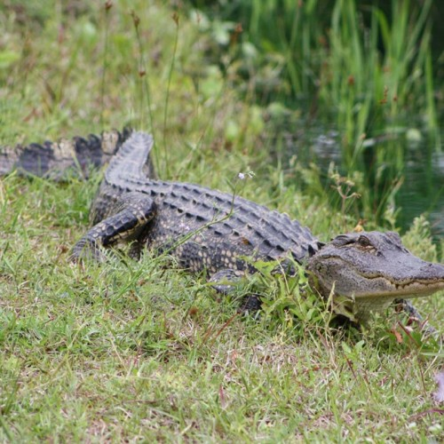 My wife and I love alligators. Our organization called Alligator Alliance helps to protect the alligators in Brunswick County. We observed this juvenile alligator in the Southport area. —John and Lisa McNeill, Winston-Salem, EnergyUnited