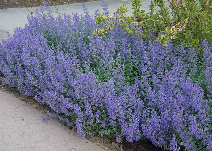 Count on Catmint for Reliable, Showy Flowers
