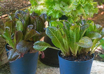 Keep Things Growing this Fall with Loose-leaf Lettuce