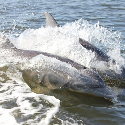 I stood on the bow of the boat during a ride on the Intra-Coastal Waterway and snapped over 60 pictures of the dolphins following us. —Louise Beasley, Havelock, Carteret-Craven Electric