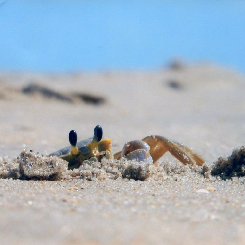 Our family has visited Nags Head for 28 years. Seeing the ghost crabs brings back fond memories of our family's children chasing them. I waited 20 minutes for this little guy to pop out of his hole. —Luanne Serik, Eastover, A member of South River EMC