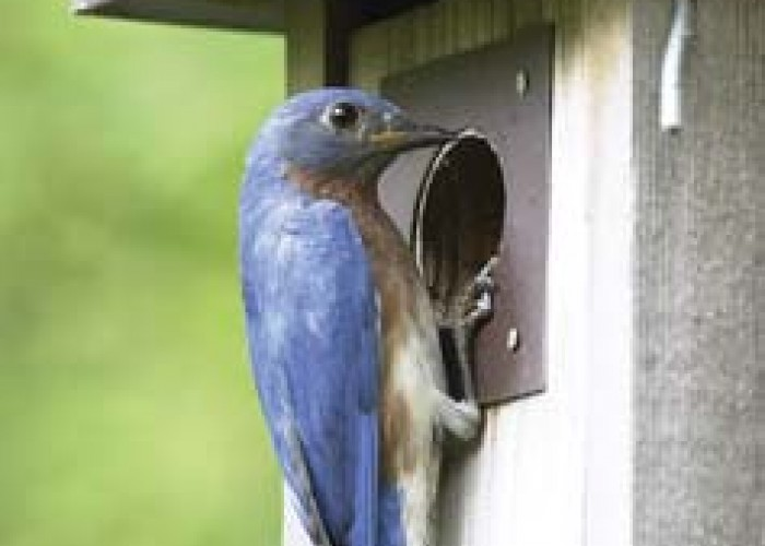 Bluebirds In North Carolina