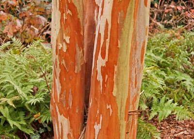 Crape Myrtles for Flashy Winter Bark