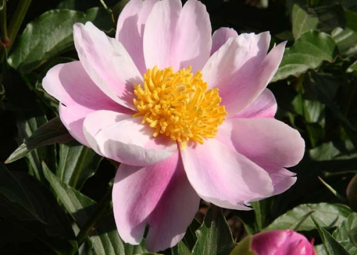 Old peonies for new gardens