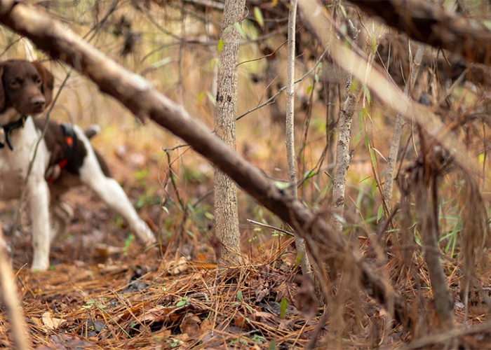 Woodcock Await Upland Hunters