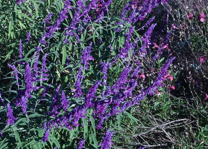 Patience in Purple: Mexican Bush Sage