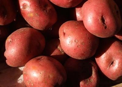 Potato planting time