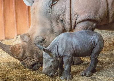 It's a Girl (Rhino)!