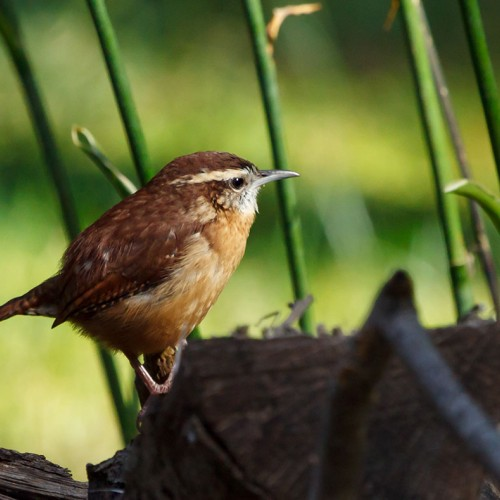 My little friend stops by every morning to sing me a song. —Rich Millward, Youngsville, Wake Electric