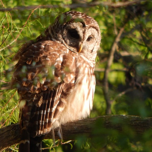 Looked out the window and saw this owl about 20 feet from the house. —Rick Swartenberg, Marshville, Pee Dee Electric