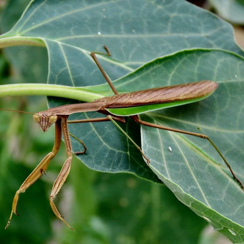 A praying mantis lives on a blooming moonflower near my father's porch and poses on a leaf for a close-up portrait. —Sally Williard, Winston-Salem, EnergyUnited