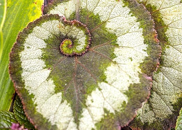 A photo of a Rex Begonia taken at Montrose Garden in Hillsborough. —William Alberti, Hillsborough, Piedmont Electric