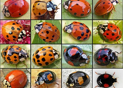 Are Lady Bugs Invading Your Home?