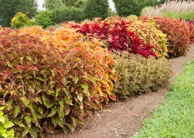 Color your world  with sun coleus
