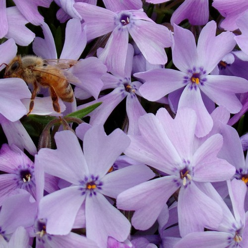 This honeybee is enjoying the nectar from my mom's creeping phlox flowers.—Danielle Hammond, Hays, a member of Surry-Yadkin Electric