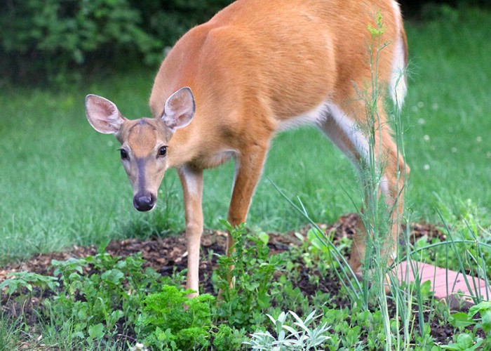 Guard Your Garden from Deer