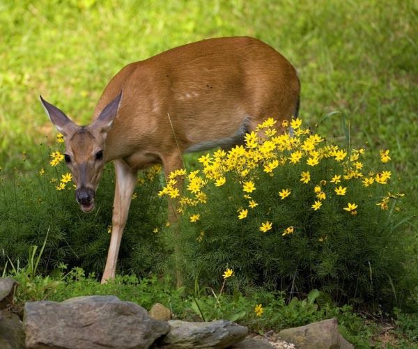 Ways to keep deer and rabbits out of your north carolina - How to keep rabbits out of garden ...
